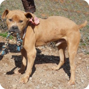 Pit Bull Terrier Mix Dog for adoption in Athens, Georgia - Diesel