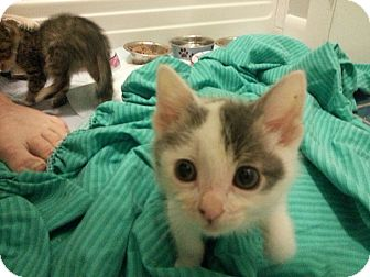 Domestic Shorthair Kitten for adoption in Chicago, Illinois - Patty