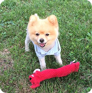 Pomeranian Dog for adoption in Ormond Beach, Florida - Leo