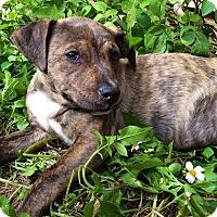 Adopt A Pet :: Mungo - Greensboro, GA