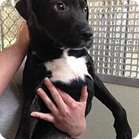 Adopt A Pet :: Quinn - Cashiers, NC