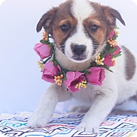 Adopt A Pet :: Natalie - Loomis, CA