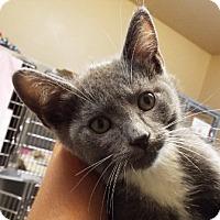 Adopt A Pet :: Tux - Grants Pass, OR