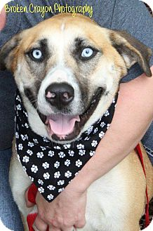 Husky/Shepherd (Unknown Type) Mix Dog for adoption in Vass, North Carolina - Pearl