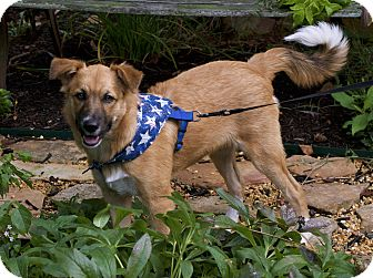Chow Chow/Border Collie Mix Dog for adoption in Allentown, Pennsylvania - little bit