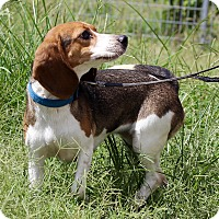 Beagle Mix Dog for adoption in McAllen, Texas - Julie