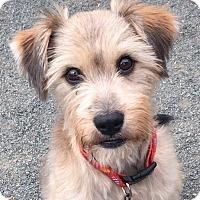 Adopt A Pet :: Chanel - Pennigton, NJ