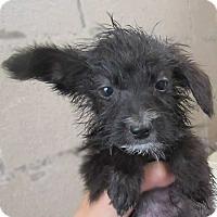 Adopt A Pet :: Raakel - Rancho Santa Fe, CA