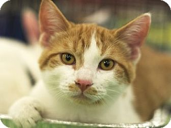 Domestic Shorthair Kitten for adoption in Great Falls, Montana - Samuel