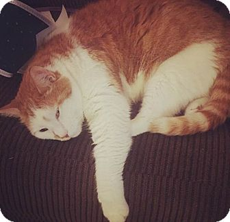Domestic Shorthair Cat for adoption in Baltimore, Maryland - Shane Fitzgerald Kennedy Cat