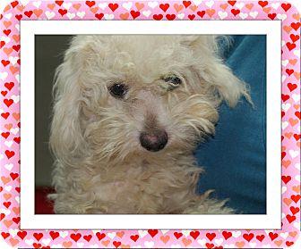 Bichon Frise Dog for adoption in Tulsa, Oklahoma - QTip - S. TX