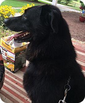 Labrador Retriever/German Shepherd Dog Mix Dog for adoption in Woodstock, Virginia - Jack