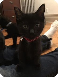 Domestic Shorthair Kitten for adoption in New York, New York - Willow