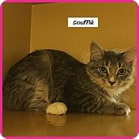 Domestic Mediumhair Cat for adoption in Miami, Florida - Souffle
