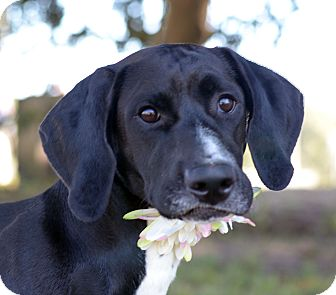 Basset Hound/Labrador Retriever Mix Dog for adoption in LAFAYETTE, Louisiana - CHARLOTTE