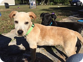 Labrador Retriever Mix Puppy for adoption in Hayes, Virginia - Mark