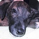 Adopt A Pet :: Teddie