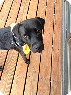 Staffordshire Bull Terrier Mix Dog for adoption in Wymore, Nebraska - Nigel