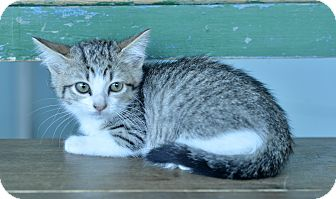 Domestic Shorthair Kitten for adoption in San Antonio, Texas - Juju