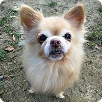 Adopt A Pet :: SQUEAKY - Boston, MA