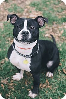 Terrier (Unknown Type, Medium)/Pit Bull Terrier Mix Dog for adoption in Cleveland, Ohio - Chilton