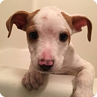 Adopt A Pet :: Jared - Knoxville, TN