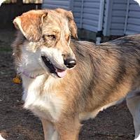 Adopt A Pet :: Gingersnap - Westminster, MD
