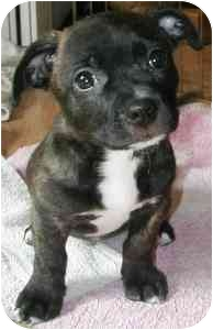french bulldog dachshund mix brickel adopted puppy 2009 079 brickel wake forest 4940