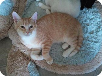 Domestic Shorthair Kitten for adoption in Grand Rapids, Michigan - Natalie