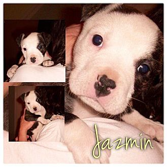 American Pit Bull Terrier Mix Puppy for adoption in Garden City, Michigan - Jazmin