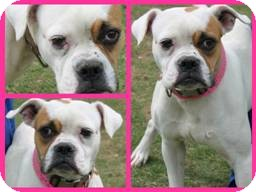 Boxer Dog for adoption in North Haven, Connecticut - TAFFY