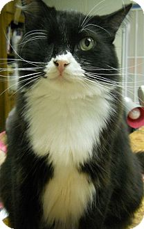 Domestic Longhair Cat for adoption in Ridgecrest, California - Marmaduke