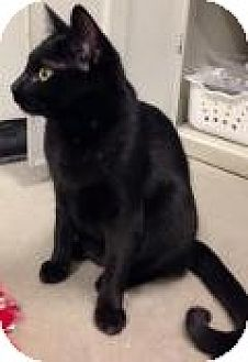 Domestic Shorthair Cat for adoption in Livonia, Michigan - Darcy