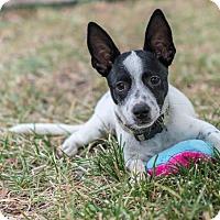 Adopt A Pet :: Penguin - Austin, TX