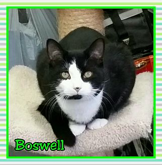 Domestic Shorthair Cat for adoption in Atco, New Jersey - Boswell
