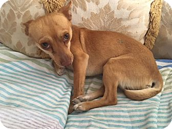 Chihuahua Mix Dog for adoption in Las Vegas, Nevada - Poncho