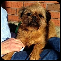 Brussels Griffon Dog for adoption in Denver, Colorado - REGGIE in Wichita, KS.
