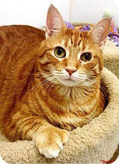 Polydactyl/Hemingway Cat for adoption in Key Largo, Florida - Scarlett