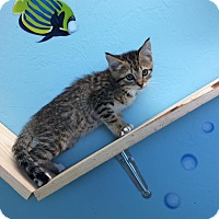 Domestic Shorthair Kitten for adoption in Woodward, Oklahoma - Alexi
