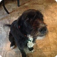 Adopt A Pet :: Phoebe - Aurora, IL