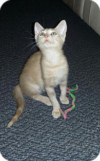 Domestic Shorthair Kitten for adoption in Sarasota, Florida - Jessica