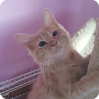 Domestic Longhair Kitten for adoption in Huntsville, Alabama - Mercury