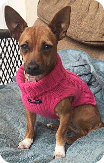 Dachshund/Chihuahua Mix Dog for adoption in San Francisco, California - Bambi