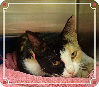 Domestic Shorthair Cat for adoption in Marietta, Georgia - MARILYN