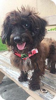 Dachshund Dog for adoption in Weston, Florida - Rasta