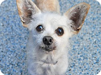 Terrier (Unknown Type, Small) Mix Dog for adoption in Long Beach, California - Harrod