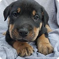 Adopt A Pet :: Seamus - Champaign, IL