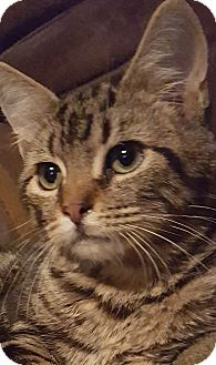 Domestic Shorthair Kitten for adoption in Rockford, Illinois - Sneezy