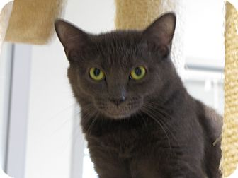 Domestic Shorthair Cat for adoption in Lafayette, New Jersey - Lennox