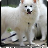 American Eskimo Dog Dog for adoption in Elmhurst, Illinois - Tasha